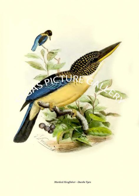 Fine art print of the Mantled Kingfisher - Dacelo Tyro by  the artist Johannes Gerardus Keulemans (1868-1871)